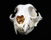 Rare Pathological Bobcat Skull Real Bone Deformed Animal Taxidermy freak deformity