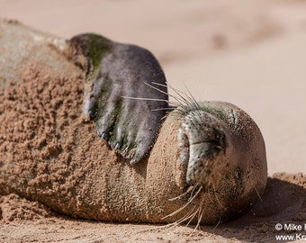 A Hawaiian Monk Seal on Kauai