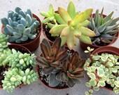 Mixed Bag of 6 Succulents