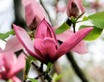 Pink Magnolia Blossom In The St. Louis Botanical Garden Print