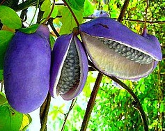 Akebia trifoliata, Chocolate Vine, 10 rare seeds, fragrant blooms, Japanese heirloom, cold hardy, sweet purple fruit, blooms in sun or shade