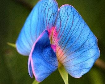 King Tut Blue Sweet Pea, Lathyrus sativus azureus, 15 very rare seeds, easy to grow, all zones, bushy vines, ground cover, luminous blue