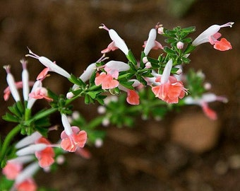 Coral Nymph Sage, Salvia coccinea, 25 seeds, peachy blooms, easy plant, hummingbird heaven, drought tolerant, easy to grow, cool cut flower
