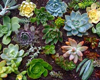 25 SUCCULENT CUTTINGS, Rosettes, Color Succulents, Plant Cuttings