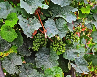 Grapes of the Mosel Valley Germany  Fine Art Photograph    Luster Print