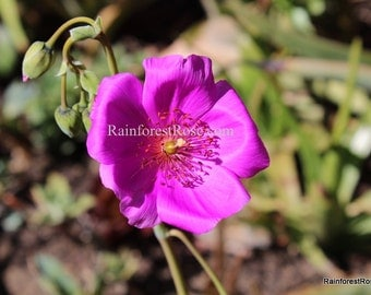 Live Plant PURPLE Calandrinia spectabilis Rock Purslane cutting fast grower cactus succulent plants