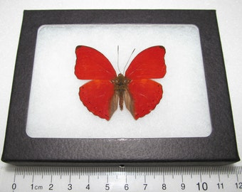 Real framed red african cymothoe sangaris framed butterfly insect