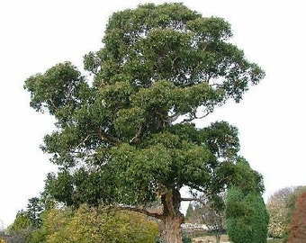 1000 Blue Gum Tree Seeds, Eucalyptus Globulus
