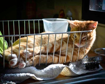 """Yellow Tabby Cat Sleeping in Dish Strainer, """"Time Out"""""""