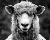 Portrait of a Sheep (OVERSIZED)