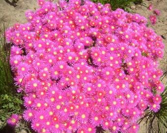 20 Hot Pink Pigface Plants