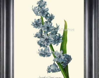 BOTANICAL PRINT Redoute Flower  Botanical Art Print 51 Beautiful Blue Hyacinth Spring Blooming Plant Garden Nature to Frame Home Decor