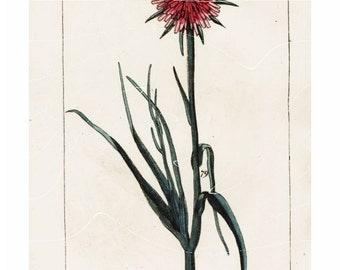 Original Antique Natural History Botanical Onion Flower Hand Colored Engraving