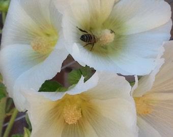White Hollyhock Seeds, white flower seed, english garden seed, biennial seeds wildflower garden shabby chic flower medicinal herb seeds