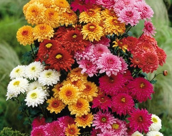 Crizanteme flower seeds,157, daisie chrisanthem, chrisanthemo seeds, sent dimitrios flower, gardening, flower seeds, winter flower,