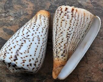 """Suratan Cone Seashell (3"""") - Conus Suratensis"""