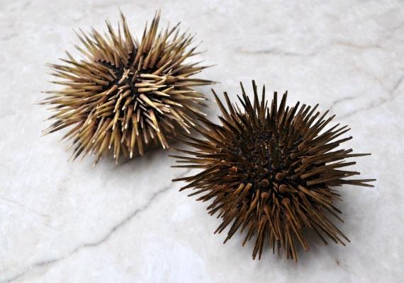 Sea Urchin w/Spines 2 pcs. 2.5-3.5 Echinometra