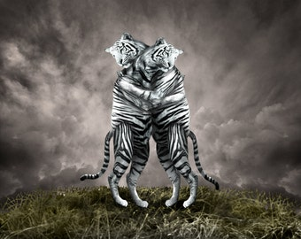 Animal Tiger Print, Hugging White Tigers, Original Fine Art Print
