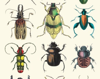 Beetles  print /poster 11 x 17 inches
