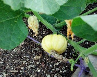 Jack-be-Little Minature Pumpkin Plant Tiny Pumpkin Cucurbita Pepo Organic Pumpkin Seeds (20ct)