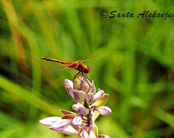 Dragon Fly - Fine Art Photography - Digital photography download, instant download, flower photography, dragonfly on flower, macro dragonfly