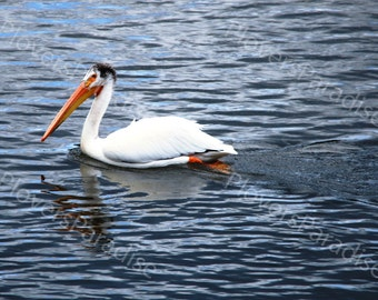 White Pelican Photograph // Yellowstone National Park Photograph // Bird Pelican Nature Photo