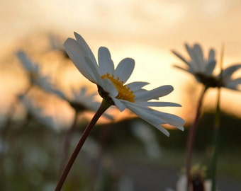 Daisy at sunrise, white flower, daisies, nature photography, photo of a daisy, photo print, photography print, landscape photo, nature photo