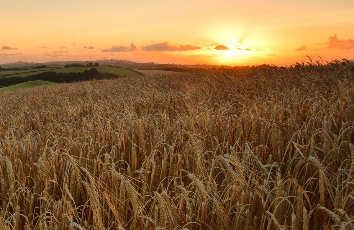 Harvest sunset Sunset from wheat field by AndyDaveyPhotography