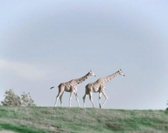 Animal photography, ACEO, giraffe, wild animal, africa, pastel