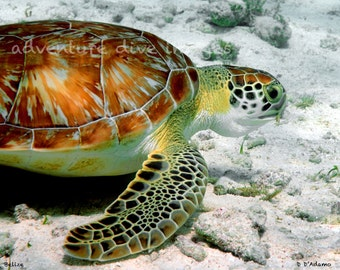 Sea Turtle Aluminum Print -Nautical Home Decor- Photographed in Belize - Available in a variety of sizes