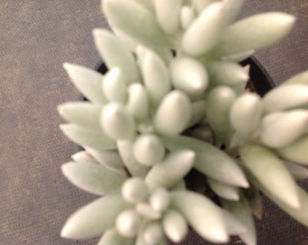 Succulent plant, beautiful Cocoon Plant forms long, tubular leaves with densely flocked white leaves.