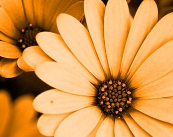 Orange Daisy Wall Art Print, Nature Photography, Yellow Flower Photography