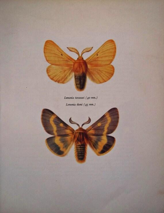 Vintage color  book plate. Butterflies Lemonia taraxaci y Lemonia dumi. 1966.   8 x 10'1 inches.