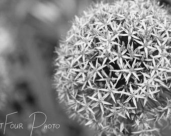 Photo Print, Black and White Flower Photograph, Allium Photograph, Stars of Persia, Home Decor, Nature Photo, Fine Art Print, Allium Art