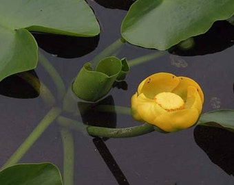 1 Yellow Spatterdock Lily ~Koi Pond/Bog/Water garden Live Plants~Winter Hardy Perennial ~Bare-root