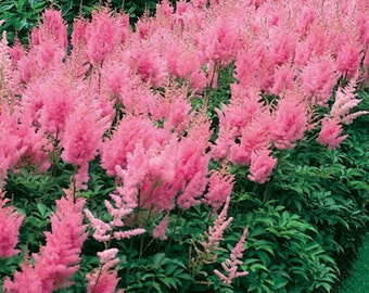 lot of 4 Pink Astilbe Winter Hardy Perennial~Bare-root plants