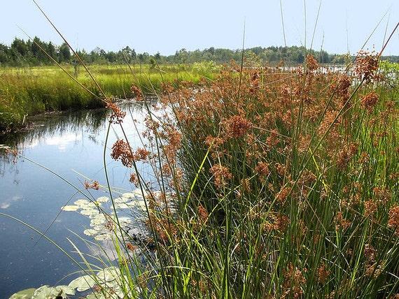 Lot of 2 clumps soft rush koi pond bog water garden plants for Pond plants that survive winter