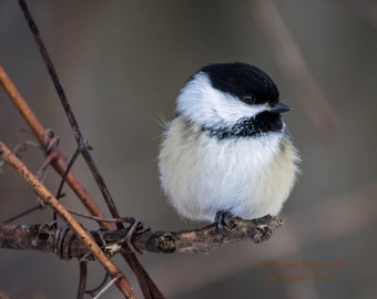 Nature Photography, bird art, bird photography, 8x10, 13x19, 5x7, 8.5x11, Black-capped Chickadee