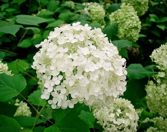 """Hydrangea Arborescens Annabelle  - 4 Inch Starter Plant, this is an """"End of the Season"""" price on these, get them at a Bargain!!"""