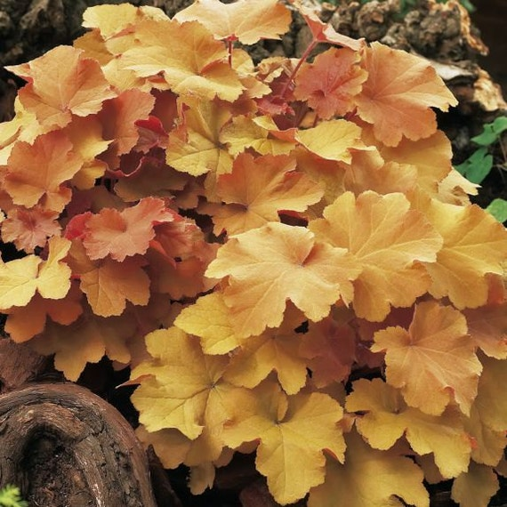 3 Caramel Heuchera/ Coral Bells in 4 Inch PotsGreat for Fall