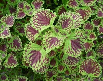 coleus, ground cover, flower photo, flower art, garden photo, garden wall decor, green purple, leaves, green plant, coleus plant