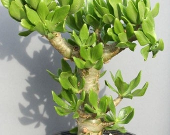 Tylecodon Paniculatus Butter Tree Bonsai Succulent 10 Seeds Plant Amazing Rare