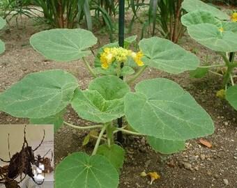 Lbicella Lutea # Devil's ClaW # Protocarnivorous # Diablo_PlanT # 5 RaRe Seeds