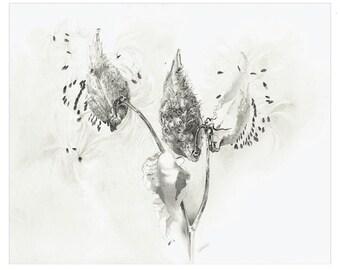 Catherine Aalto - Milkweed - Fine Art Print