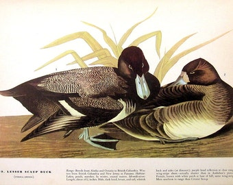 Lesser Scaup Duck, Sanderling - Audubon Bird Print -12 x 9 - 1942 Vintage Book Page