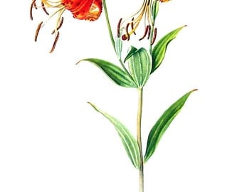 Turks Cap Lily - 1954 Botanical Vintage Book Plate 11 x 8