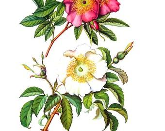 Swamp Rose Flowers - Botanical Print - 1954 Vintage Book Page - 11 x 8
