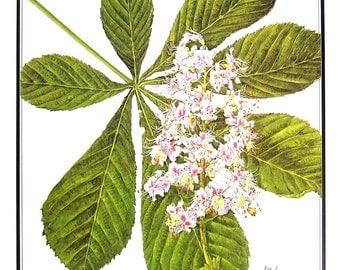 Horse Chestnut Tree - Leaves and Flowers - 1987 Vintage Botanical Print - Vintage Book Page - British Trees Book