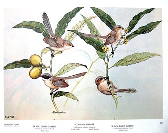 Rex Brasher Print - Large Vintage 1962 Bird Print - Black Eared Bushtit, Common Bushtit  with California Laurel, White Breasted Nuthatch