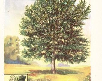 1926 Botany Print - Silver Leaved Poplar Tree - Vintage Antique Book Art Illustration Nature Natural Science Great for Framing